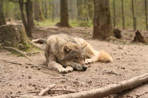 wolf_canis_lupus_enclosure