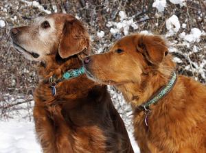 Голден-ретривер Кейси (слева) - 9 лет и беспородная Нейла (справа) - 11 лет. Обе собаки – одного окраса, однако сильно поседела морда - у более молодой. Фото: Jamie Elvert, из http://www.doggenetics.co.uk