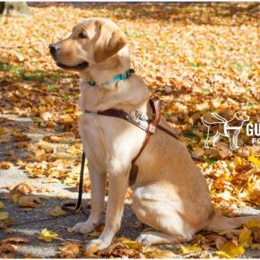 Когда собака-поводырь может быть простособакой