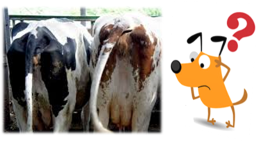 cows_dog_heat