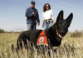 Собаки помогают восстановлению популяции медведей гризли вЙеллоустоуне
