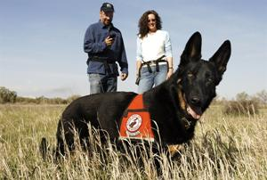 Немецкая овчарка Камас (организации Working Dogs for Conservation) на природоохранной службе. Credit: Julie Larsen Maher