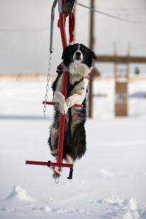 Pets-Ski Dogs