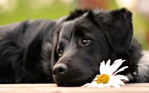 desktop-wallpaper-of-cute-black-dog-with-flower-free-computer-desktop