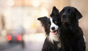 dogs-friends-animal-white-couple-black-dog-border-collie-cute-catel-collie22-free-wallpapers-736x428