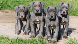 great-dane-puppies-full-screen-wallpaper-images-hd-desktop-background-free-lovely-animals-best-friend-widescreen-1600x1200
