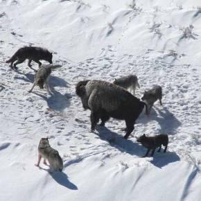 Охота в стае волков: сложная коммуникация или простыеправила?